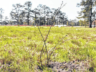 Courtesy photo                                 Shown is one of 30 blackberry trees planted at the Lumbee Tribe Cultural Center in Maxton. The trees are among 120 others, including apple, cherry and peach, that will be part of the Center's newly established orchard.